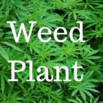 weed plants